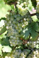 sudové víno